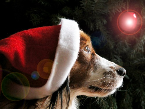 Christmas_dog[1]