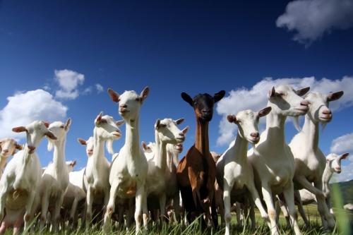 goats-med
