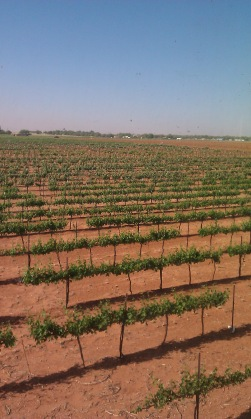 West Texas vineyard - hit by frost