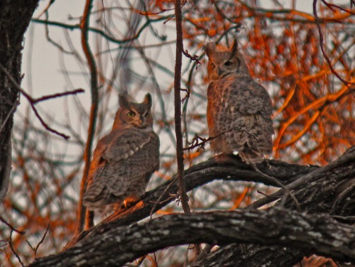texas great horned owls