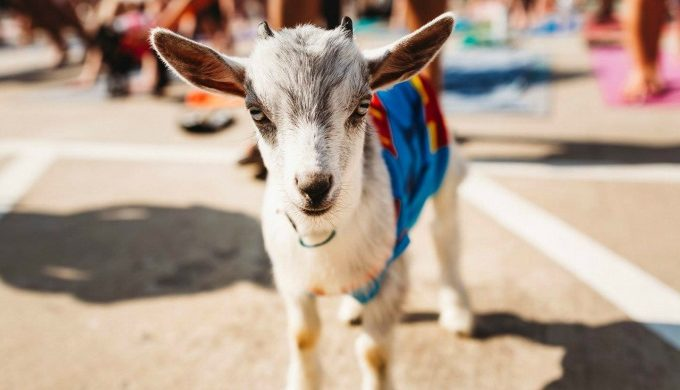Goat-680x390.jpg